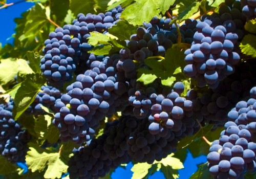 It's time to harvest grapes in Tuscany!
