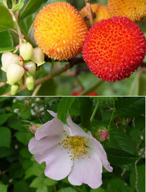 Strawberry tree fruit and rosa canina