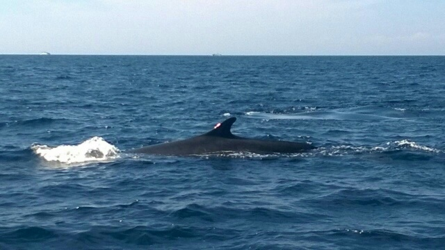 Whale in Tuscany, Argentario