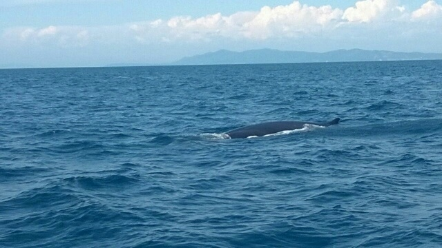 Whales spotted in southern Tuscany, Argentario - from Il Tirreno