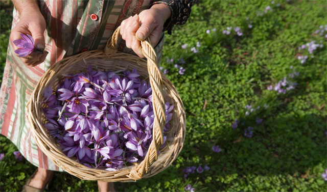 Hand harvest of saffron - image from www.salepepe.it