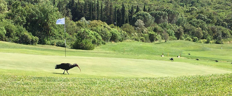 The Hermit Ibis in Maremma Tuscany Argentario Golf Club