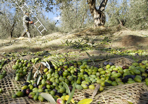 Grape & Olive Harvest in Maremma Tuscany
